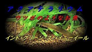 【アクアテラリウム】~ウツボのようなお魚、インド・グリーン・スパイニーイール~