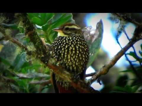 Pearled Treerunner - Margarornis squamiger- Birds Venezuela