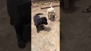 いじめるな!仲間を助けに来た勇敢な子犬ちゃん