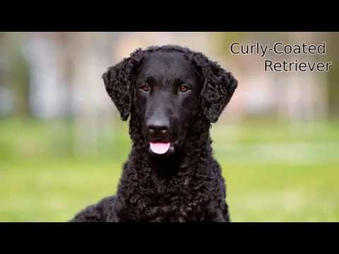 Curly Coated Retriever - large dog breed