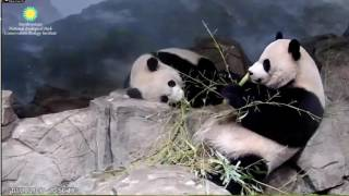 Bei Bei Loves his Mommy Mei Panda Napping 💞🐼🐼💞