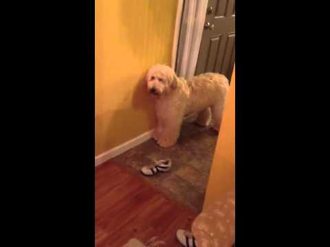 golden doodle scared of christmas decorations - Goldendoodle Christmas Decorations