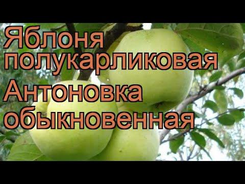 Яблоня полукарликовая Антоновка обыкновенная 🌿 обзор: как сажать, саженцы яблони