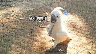 자기 하네스를 물고 산책하는 코카투 앵무새....?