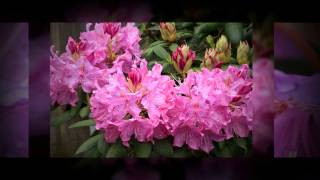 Rhododendron First Year