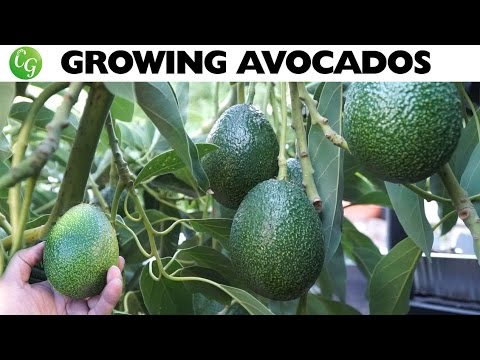 Growing Avocado : The Best Avocados To Grow In Your Garden! - Youtube