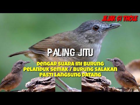 Suara Pikat Burung Pelanduk Semak / Salakan Paling Ampuh Sejagat