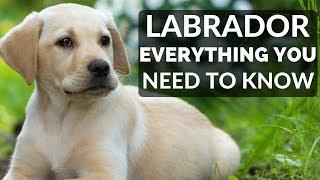 Labrador Retriever  Everything You Need To Know About Owning a Labrador Retriever Puppy