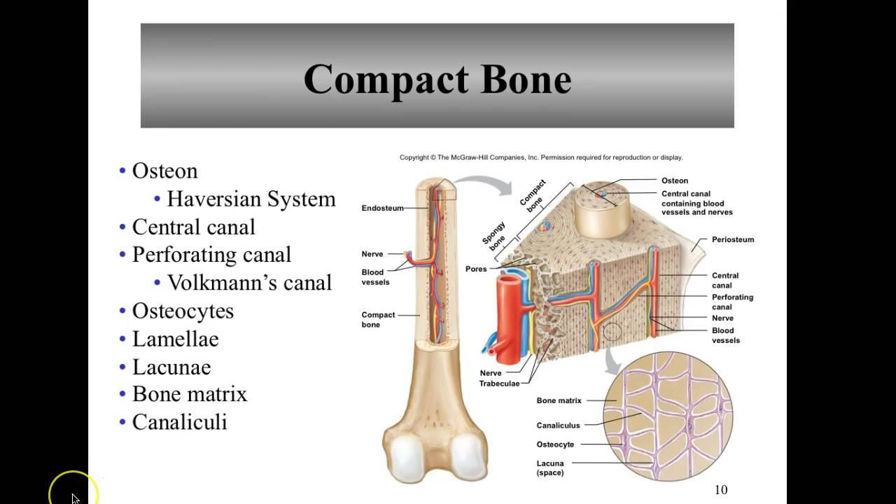 Adv. A&P CH 7 (7.2 Microscopic Structure of Bone) - YouTube