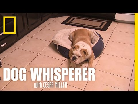 Bulldog in Trouble | Dog Whisperer