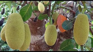 Today (on 21.3.2018) Declared Jackfruit as Official state fruit of Kerala