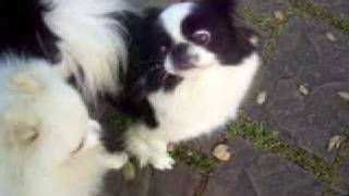 Japanese Chin & Pomeranian Playing