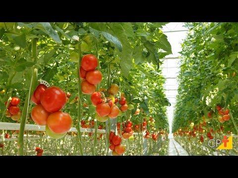 Curso a Distância Cultivo de Tomate em Estufa