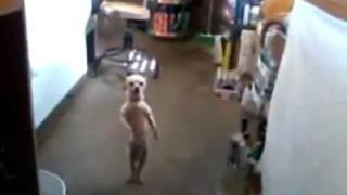 A Dancing Chihuahua