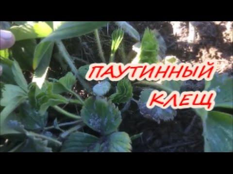 ПАУТИННЫЙ КЛЕЩ НА КЛУБНИКЕ  Как бороться/ Органическое земледелие
