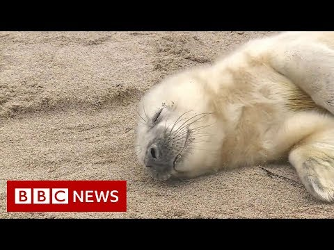 Spotting seals from the sky - BBC News
