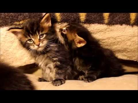 """Cachou the Singing Cat meows """"One of us"""""""