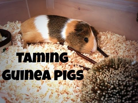Taming Guinea Pigs *6 Quick Tips*