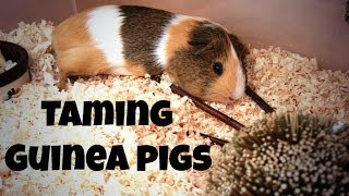 Taming Guinea Pigs *6 Quick Tips*