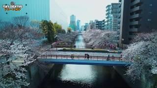 ドローン空撮【目黒川の桜】東京4K Drone Japan Tokyo  CherryBlossom
