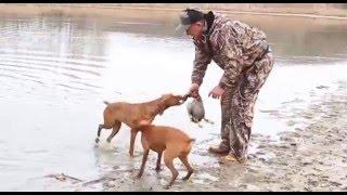 Охота на фазана и утку с венгерской выжлой