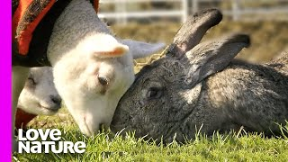 Giant 50lb Rabbit is Rejected and Befriends Baby Lambs | Oddest Animal Friendships