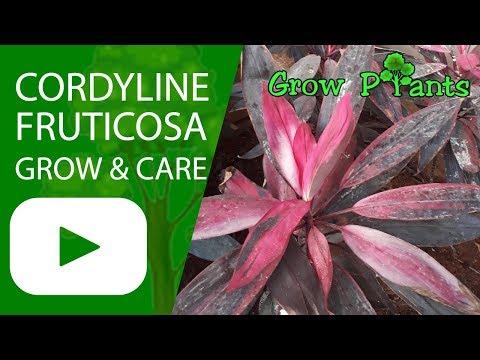 Cordyline fruticosa  - Ti plant - Growing and care