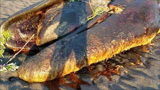 Xov Xwm Kub Heev Zaj Tawm Los Tuag Saum Nqhuab Whale died in Alaska 06 10 2019