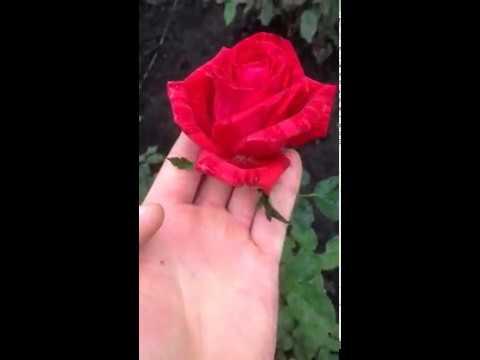 "Сорт чайно-гибридной розы ""Ред Интуишн"""
