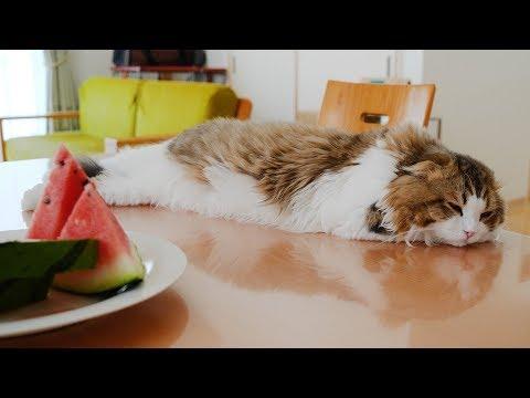 大きなスイカの香りで何故か寝てしまう猫