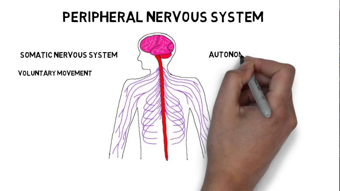 2 Minute Neuroscience Divisions Of The Nervous System Youtube
