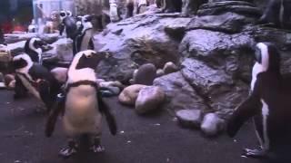 Road Trippin Ripley's Aquarium Penguins