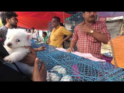 German Spitz | Gallif Street, Baghbazar, Kolkata, West Bengal | Galiff Street Pet Market