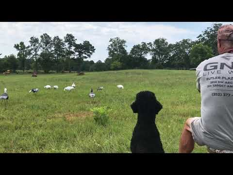 Louter Creek Hunting Poodles