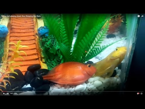 Parrot Fish Playing Dead, Noo Sleeping Like Baby In Temp Tank