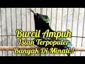 Suara Kolibri Ninja Full Jeda Gacor  Mp3 - Mp4 Download