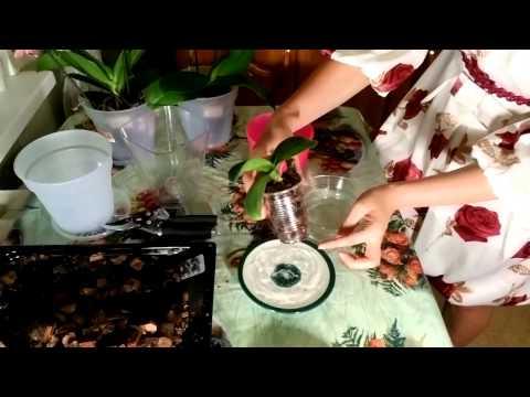 Полив орхидеи
