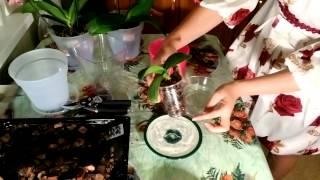Полив орхидеи(УХОД за орхидеями. Полив. Вода для полива. Интервал полива. Способы полива орхидей 1.Сверху вниз, используя..., 2013-09-25T19:52:26.000Z)