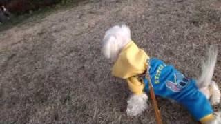 我が家の愛犬マルチーズのクッキー♂9才です。お散歩が大好きで、いつも...