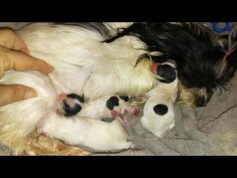 The Faery Dog Mother: Celia's Rare Micro Lha'Tese hybrid puppies...A dream come true