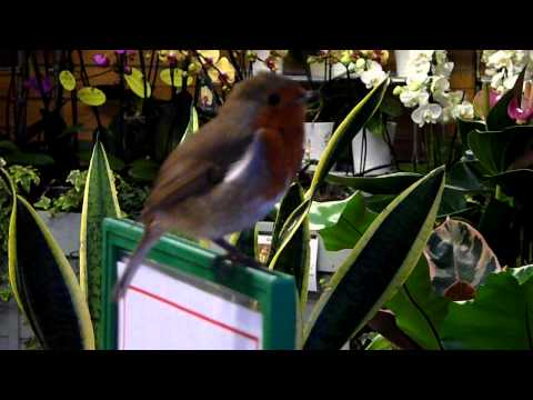 A ROBIN SINGS AT WISLEY