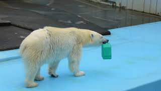 釧路市動物園のホッキョクグマのミルク。 新しいおもちゃを入れてもらいましたが、ちょっと変わった形です。 どうやって遊ぼうか、いっぱい考えてね。 (平成29年9月10日 ...