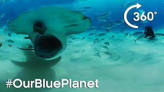 Hammerhead Sharks 360° - #OurBluePlanet - Earth Unplugged thumbnail