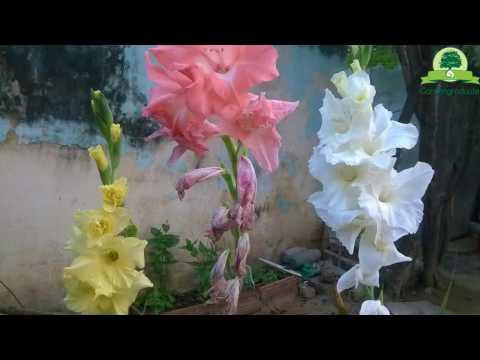 Gladiolus Seed Pods: Harvesting Gladiolus Seeds| Seed collecting series | gardengraduate