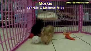 Morkie, Puppies,for,sale, In,orlando Florida, Fl, Deltona,melbourne,palm Coast,