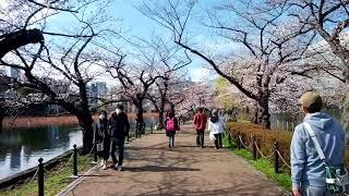 Cherry Blossoms by Shinobazu pond in Ueno park. Tokyo, Japan. 2018 thumbnail