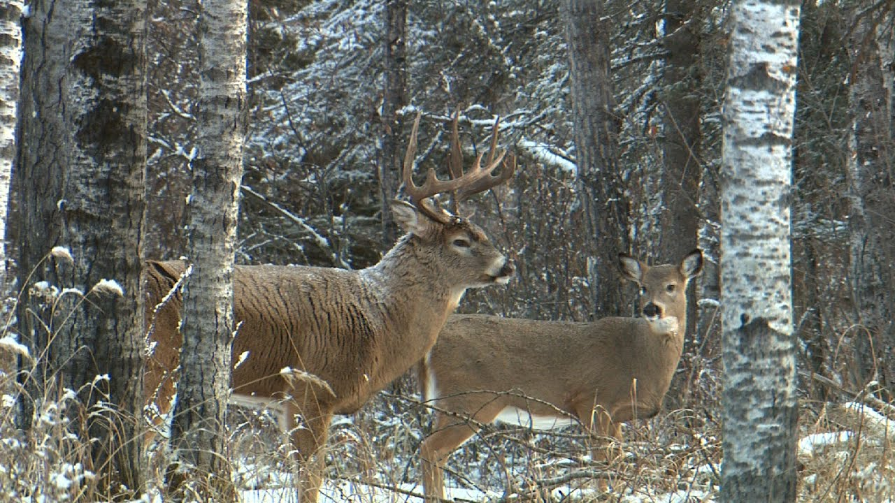 Trophy Whitetail Deer Hunting Outfitters in Maine ... |Deer Unting