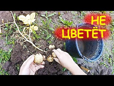 Вопрос: Почему не цветет картофель?