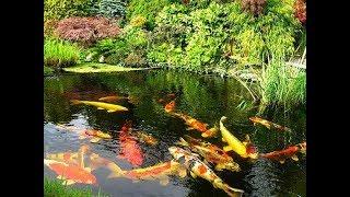 Рыбы для пруда на даче