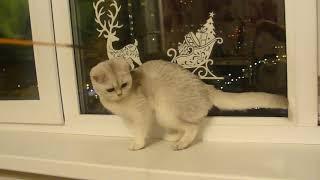 Челябинск, продажа Британская кошечка